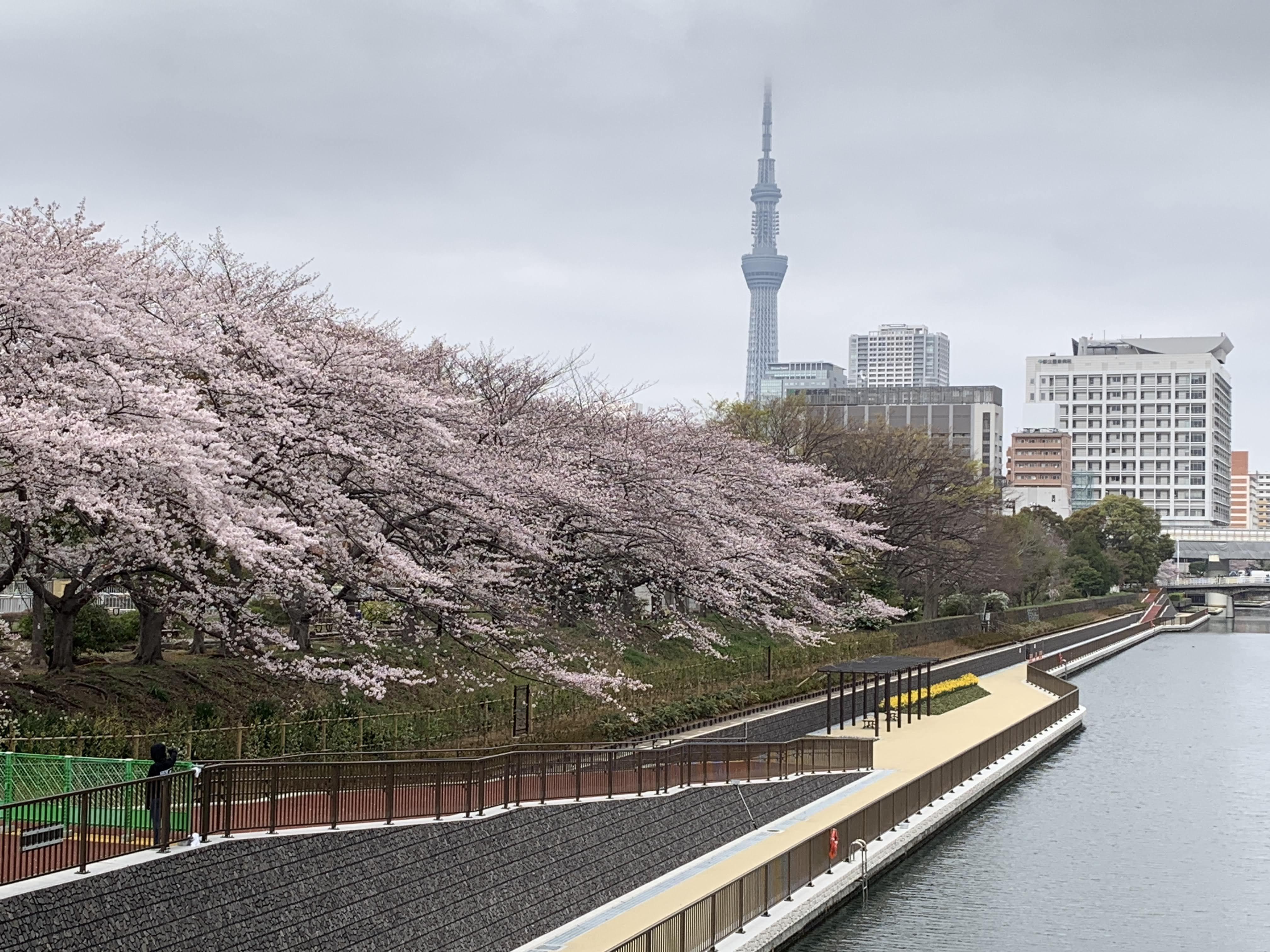 桜とスカイツリー2
