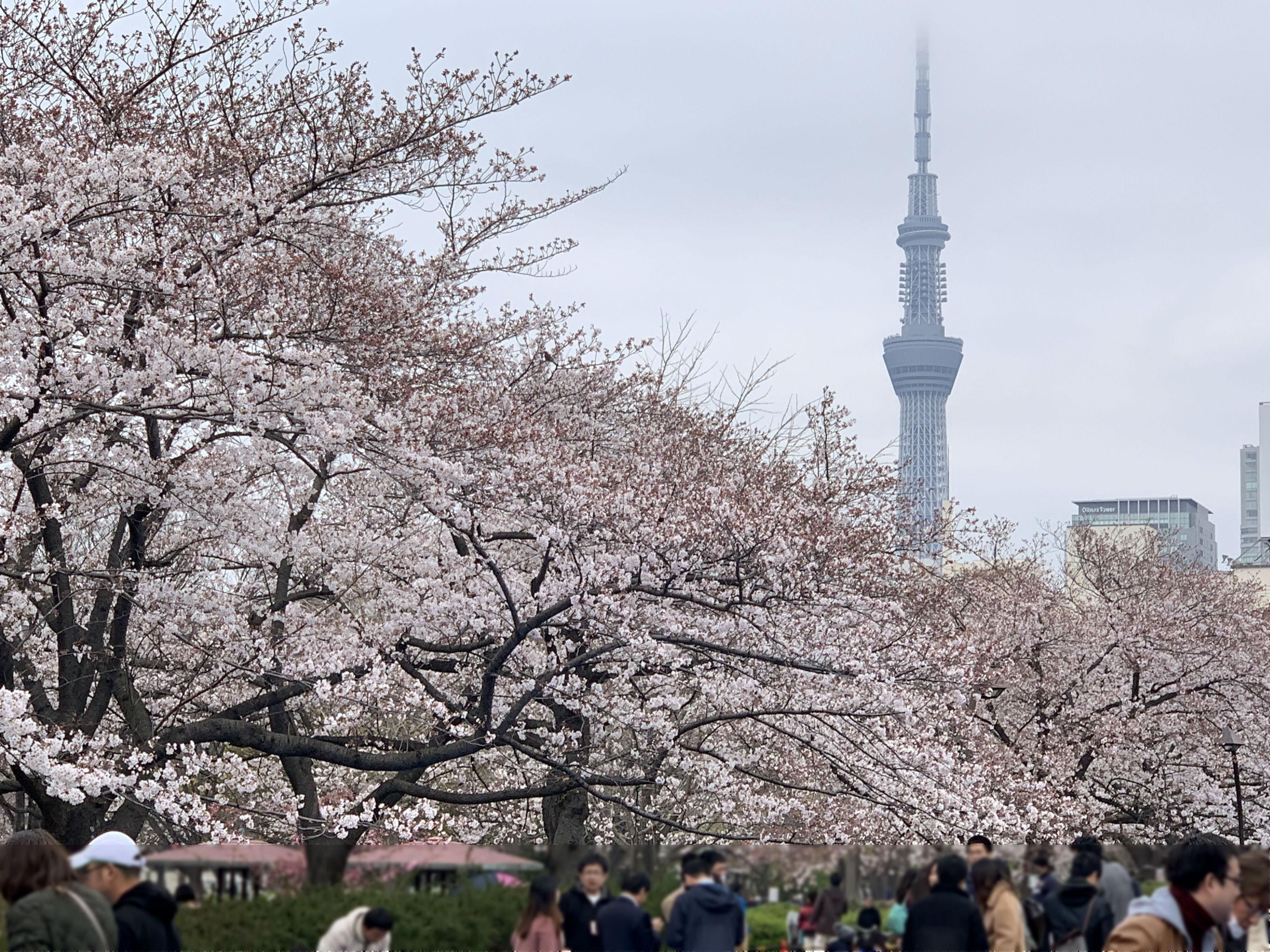 桜とスカイツリー1