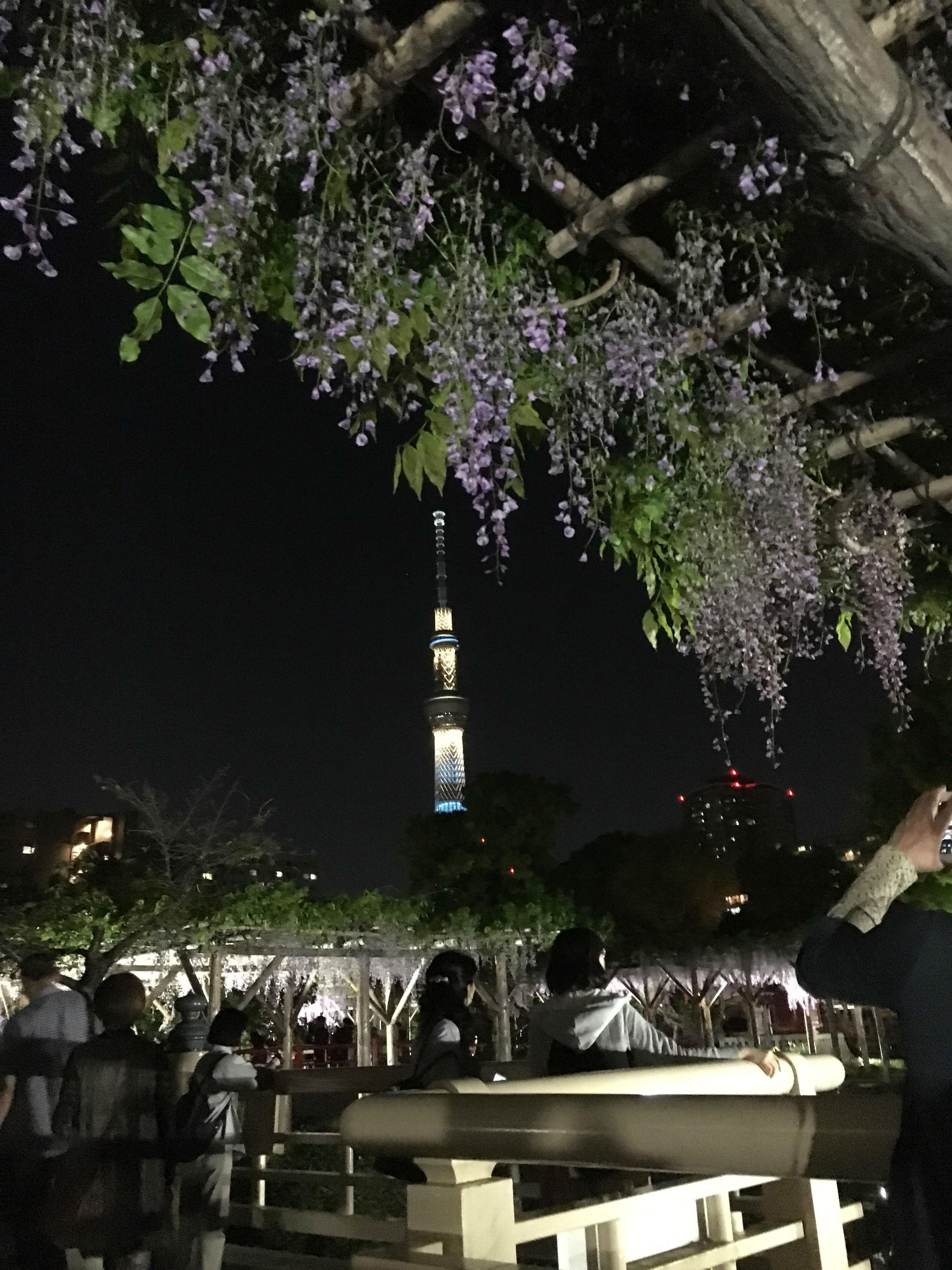 ライトアップされた亀戸天神社の藤01