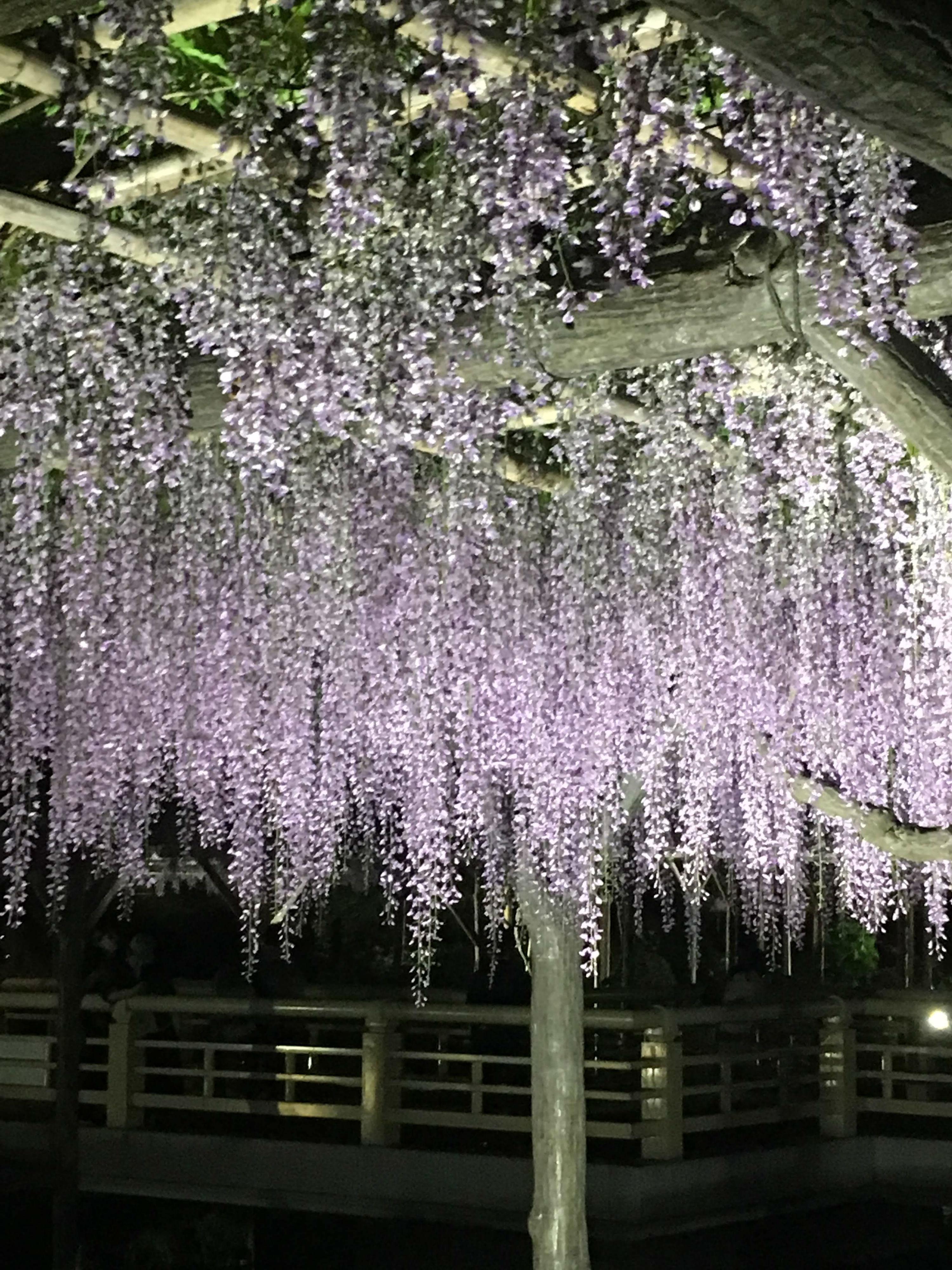 ライトアップされた亀戸天神社の藤03