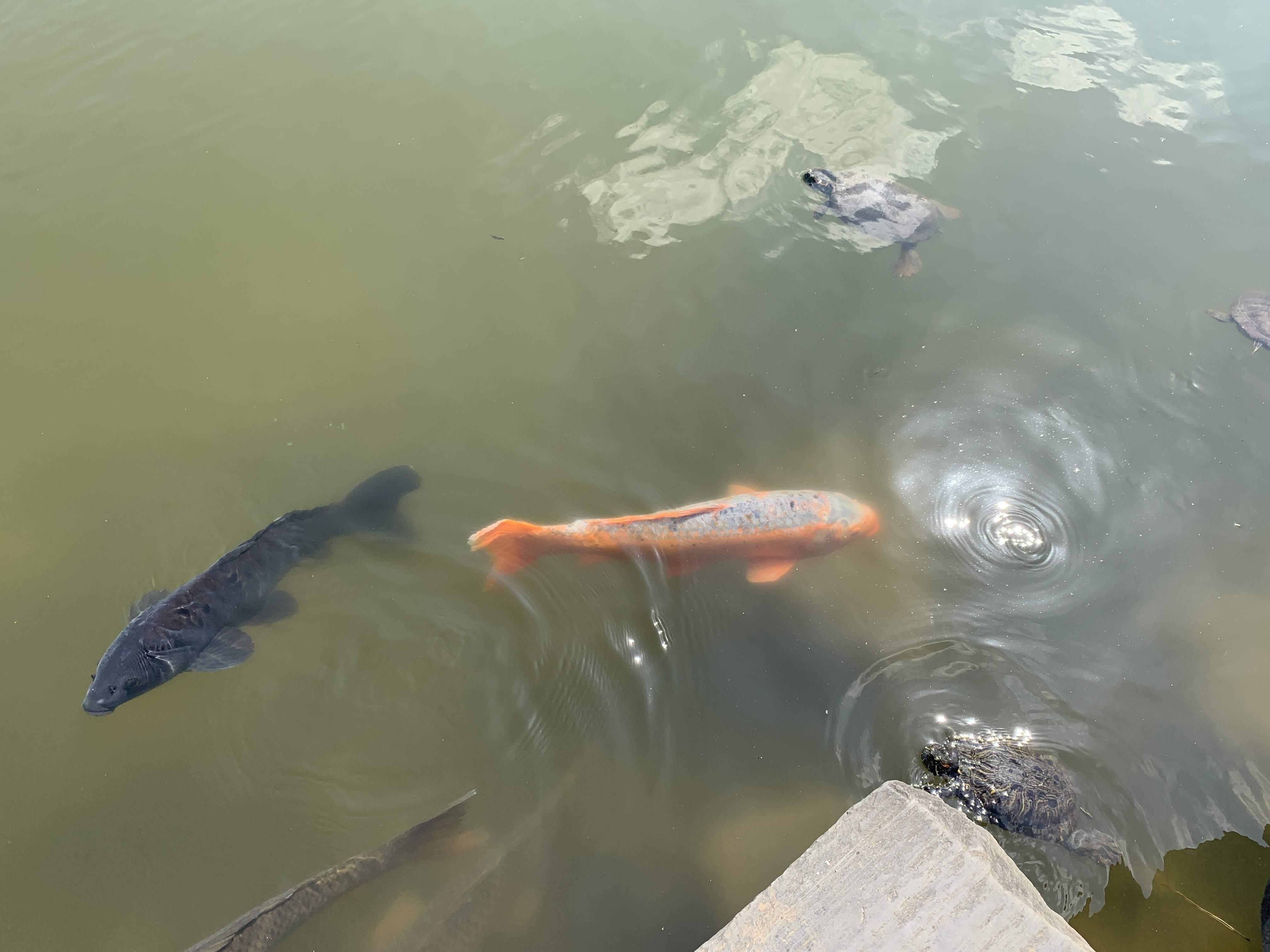 大泉水の鯉や亀
